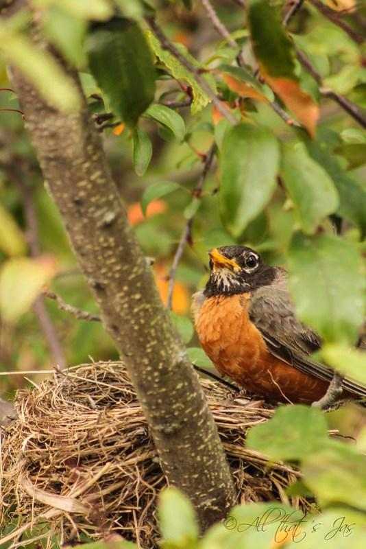 angry mama Robin