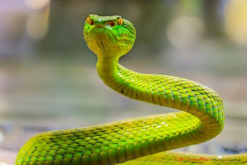 Green Viper ( Trimeresurus Albolabris )
