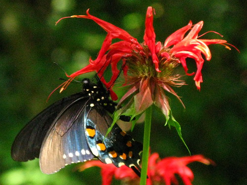 Butterflies on Bee Balm by you.