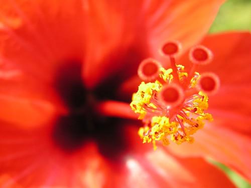 Gran flor roja