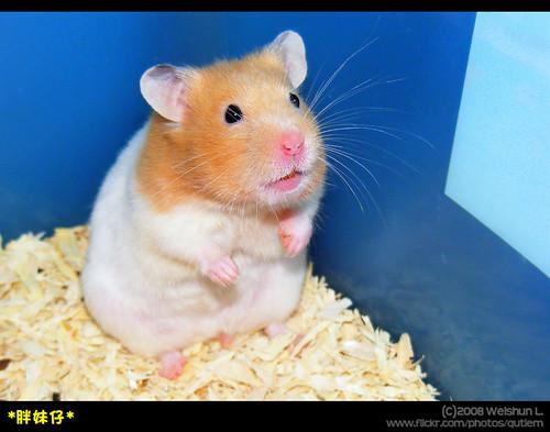 詳細解說有關寵物鼠種類和價錢還有圖片   Yahoo奇摩知識+