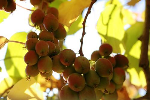 Kiwis on vines