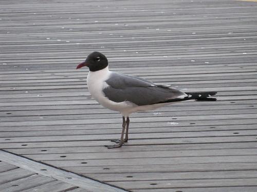 Seagull?
