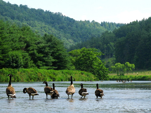 Geese and their scenery together