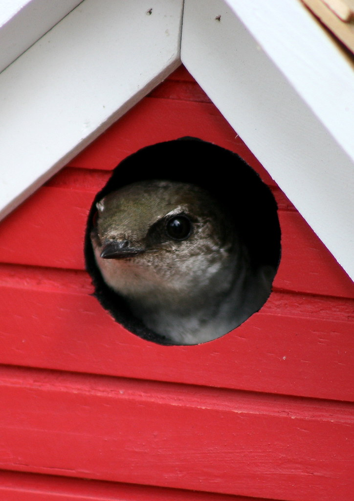 Nesting Violet Green Swallow