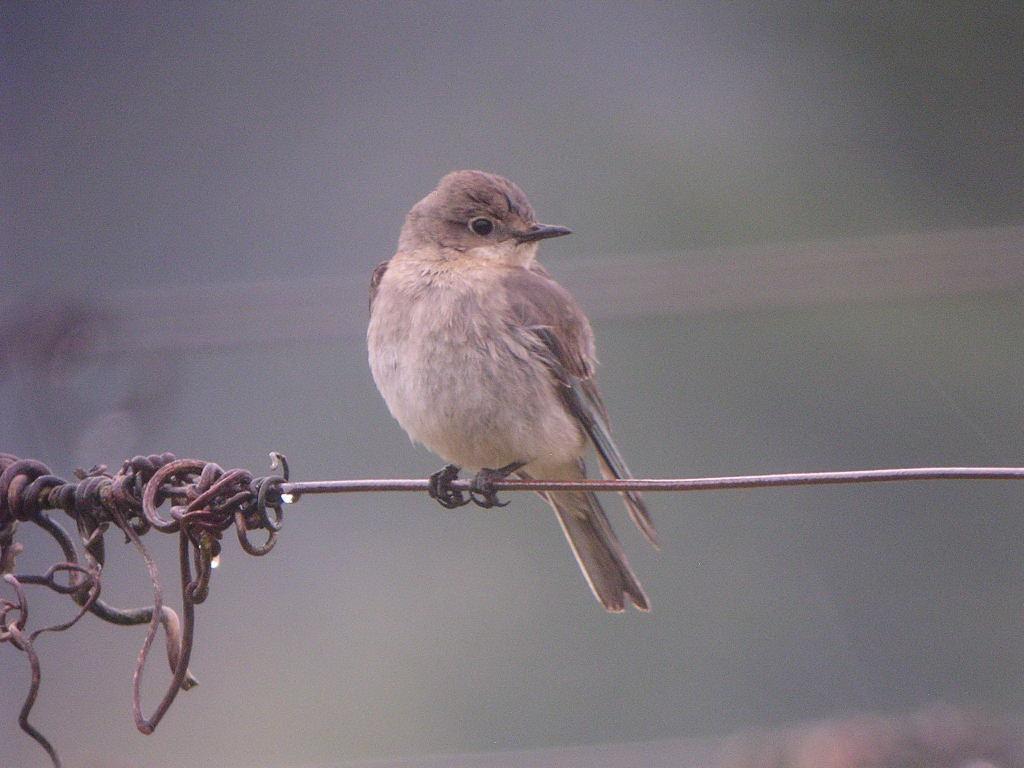 Mystery Bird Female Mountain Bluebird Sialia Currucoides