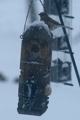 Downy and Tree Sparrow at suet