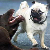 funny-dog-pictures-surprise-pug copy