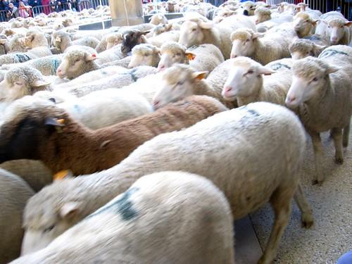 Go sheep, go!