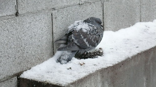 Hello Pigeon!  You Can Has Snow.