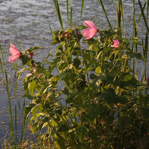 Swamp Rose Mallow