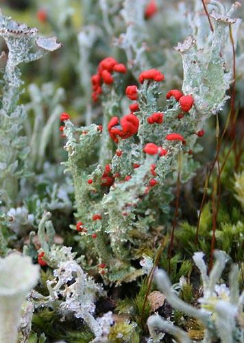 British Soldier lichen, Cladonia cristatella