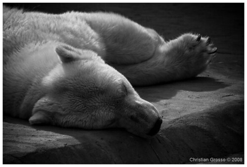 """Oso Polar • <a style=""""font-size:0.8em;"""" href=""""http://www.flickr.com/photos/20681585@N05/3109191160/"""" target=""""_blank"""">View on Flickr</a>"""