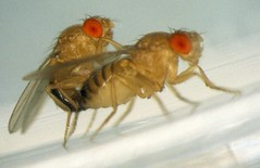 06 Drosophila melanogater Mating