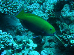 Pez loro de cabeza empinada / Steephead parrotfish (Chlorurus gibbus)