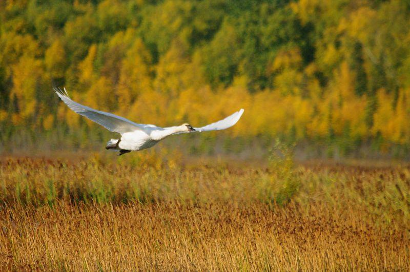 IMGP7263 a Trumpeter Swan