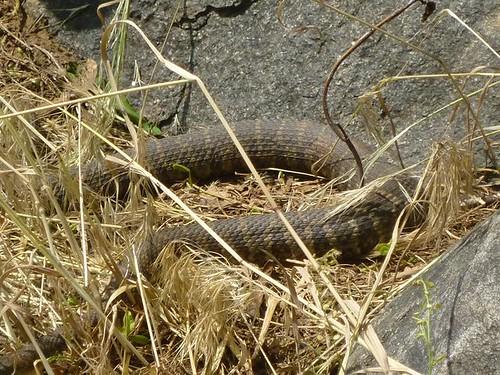 WI, Janesville - Beckman Mill 18 - Snake closer