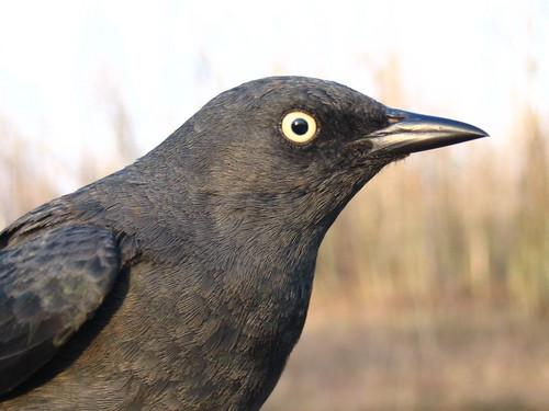 Rusty Blackbird - adult female