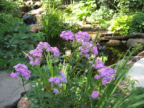 Swamp phlox by pond