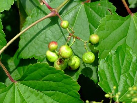 ノブドウ~野葡萄