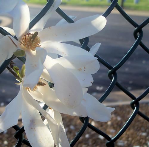 magnolia ghosts.jpg