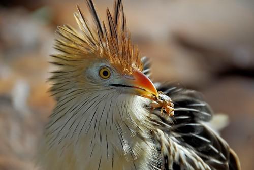 Cuckoo.jpg