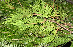 Northern white-cedar and balsam boughs. Flickr photo by JMiedtke. Click photo for a closer look.