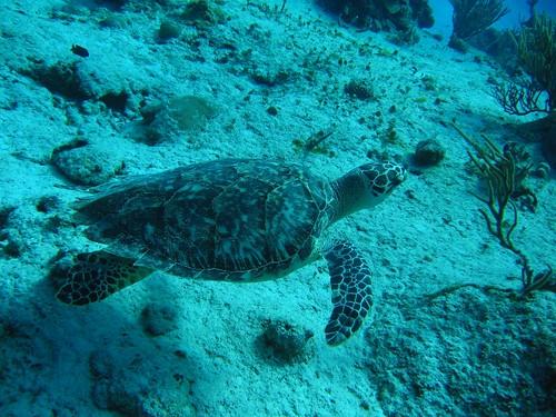 Probably an endangered hawksbill sea turtle, 2007