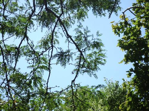 Locust tree + sky