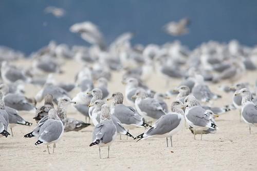 California Gulls by you.