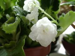 Senpolia white