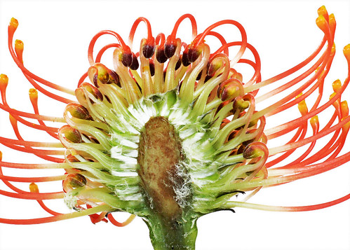 Bisected Protea
