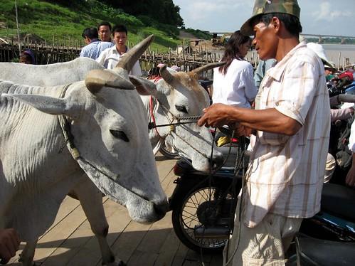 Oxen boarding a raft