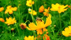 80.蜜蜂採蜜