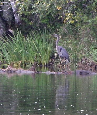 A Blue heron on the banks