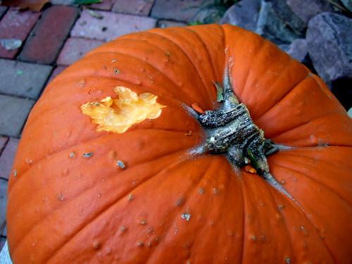 Squirrel-mauled pumpkin