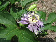 Life Blood (Of The Passion Flower), Augusta, Georgia, July 2008, photo © 2008 by QuoinMonkey. All rights reserved.