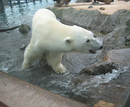 Medvěd ledni