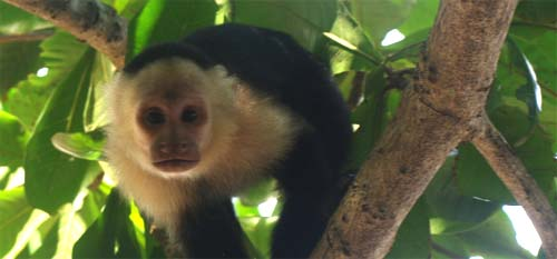 Primate costarricense, by JS.