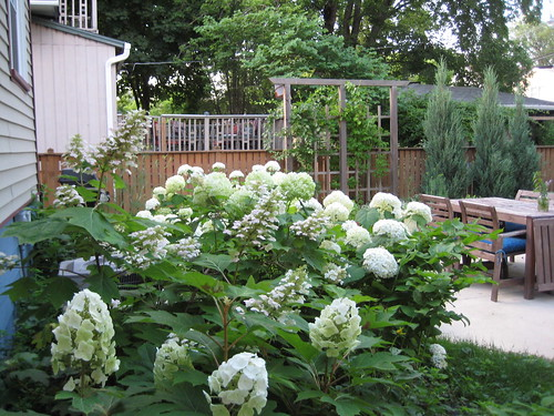 Oakleaf and Annabelle hydrangea