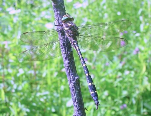 H-RH's garden dragonfly...