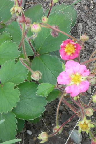 'Pink panda' strawberry
