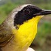 Common Yellowthroat Male Adult