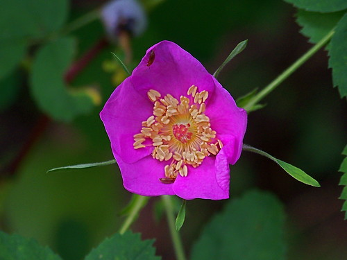 Wild rose blossom, early stage