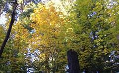 autumn golden maples