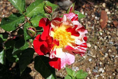 Firecracker-Rose1