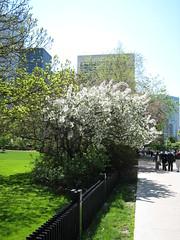 Et un Cerisier blanc, un peu plus loin.