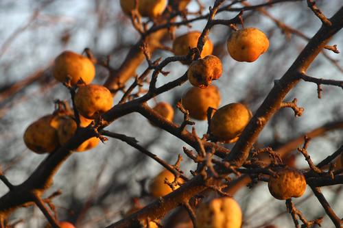 wild apples in november