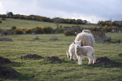 Spring lamb... by ~Zoe~ @ Flickr.com