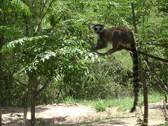 Ring-tailed lemur in Isalo National Park.